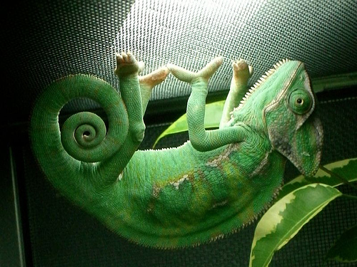 pet chameleon care