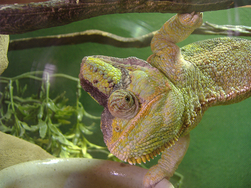 feeding veiled chameleon