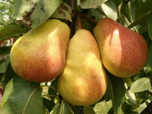 Pears: the fall fruit underdog (plus a recipe!)