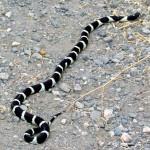 King-Snake