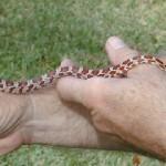 Florida-Snakes-2
