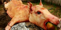 Do Not Go Gently Into That Pig Roast