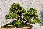 Bonsai juniper squamata, on wooden stand, moss covered base.