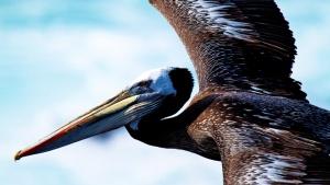 Pelican, Punta San Juan, Peru. This i... [Photo of the day - 19 JULY 2012]