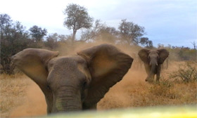 Elephant smashes into car at Kruger National Park, South Africa - video