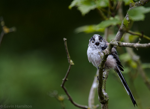 Long Tail Tit - Aegithalos caudatus - Scotland UK