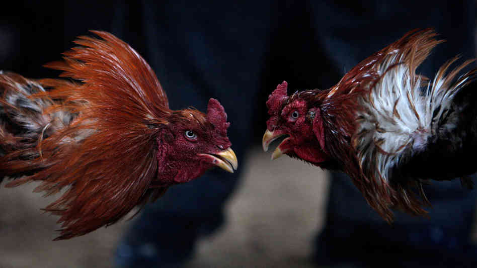 Roosters duel during a cockfighting match in Afghanistan.
