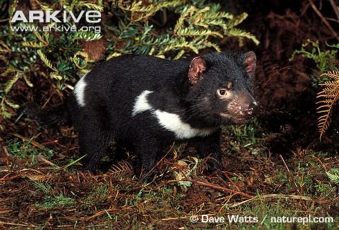 Adult Tasmanian devil
