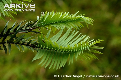 Photo of Wollemi pine leaves