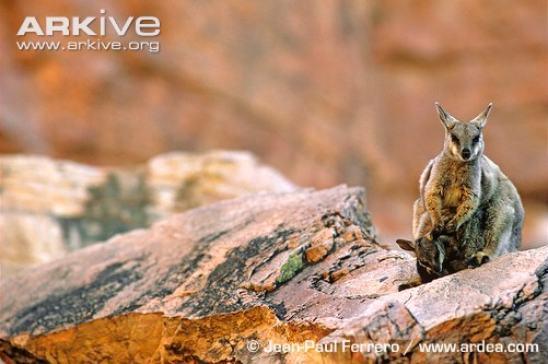 Black-footed rock wallaby with young on rock
