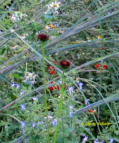 The mixture of floral types is attractive. In this photo you see the blue stem grass, the scarlet sage, the blue curls and the rayless sunflower.