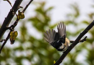 Coal Tit launching into flight – Gavin Hamilton