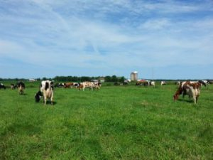 Dairy Carrie Cows