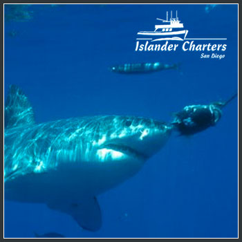 50% Off 5-Day All-Inclusive Great White Shark Diving Trip