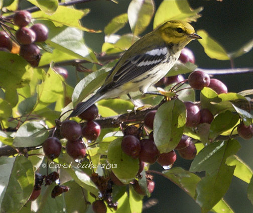 Black-throated Green Warbler (Setophaga virens)