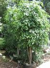 垂榕批发、垂榕苗木栽培