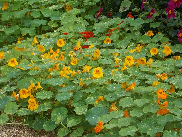 Nasturtiums in Monet's Garden