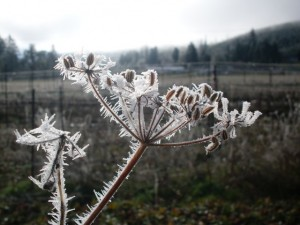 Frosty Fennel Seed