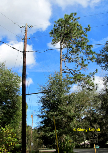A longleaf pine with half a crown because it's too close to the power lines.