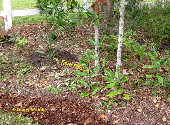 In 2010, just after I gave the blue palmetto a topdressing of compost.
