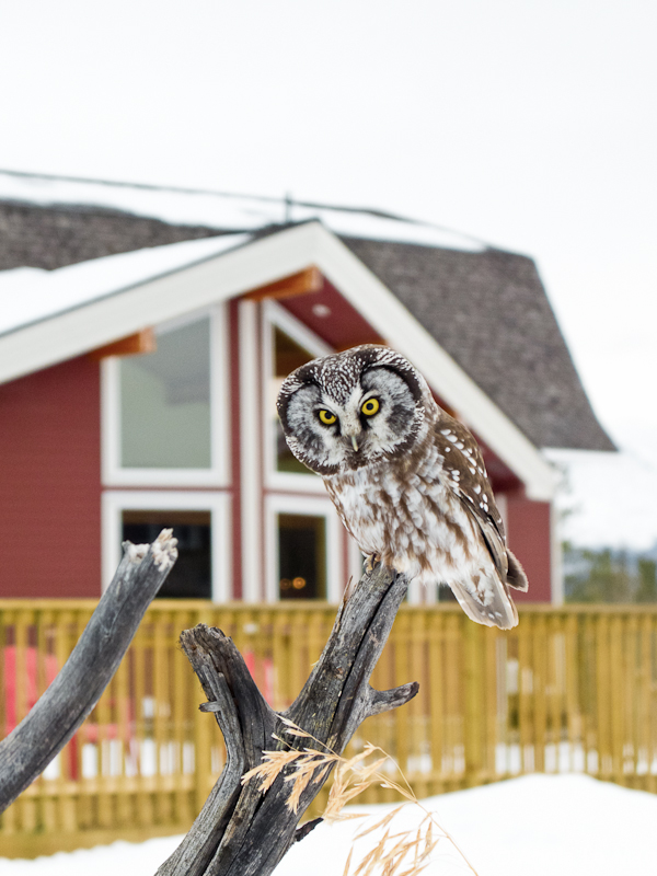 bed-and-breakfast-canada-takhini_river_lodge_boreal_owl_4
