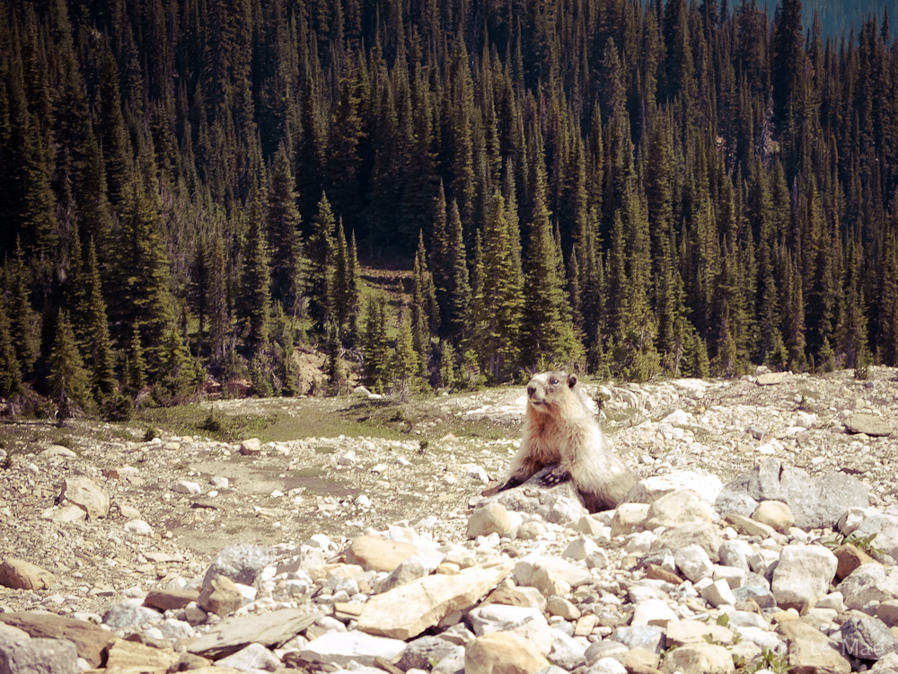 iceline-trail-parc-national-de-yoho_marmot