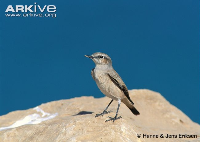 Adult red-tailed wheatear