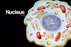 Pic: http://library.thinkquest.org/06aug/01942/plcells/thinkquest/nucleus.jpg