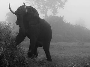 'Elephant in Mist' by David Gulden. Gulden documents the declining landscape of African wildlife