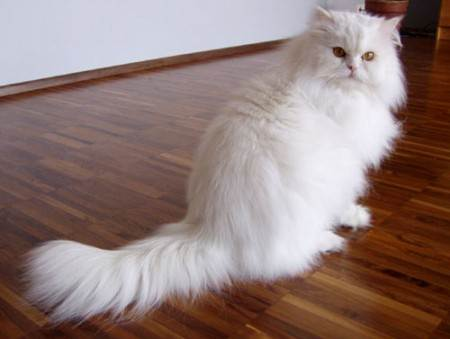 persian 5 Fluffy Cat Breeds