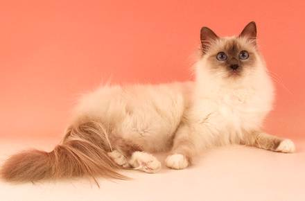birman 5 Fluffy Cat Breeds