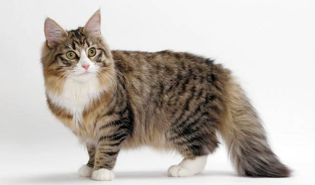norwegian forest cat 5 Fluffy Cat Breeds