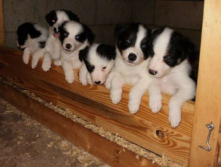 Border Collie Puppies for sale!