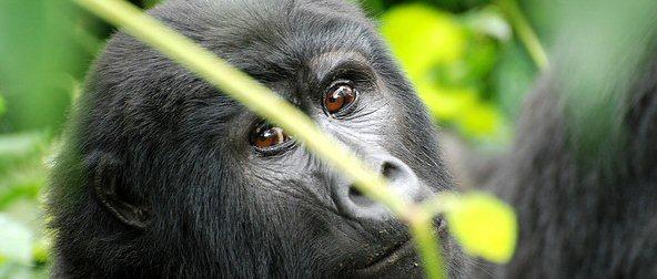 uganda gorilla tracking in bwindi