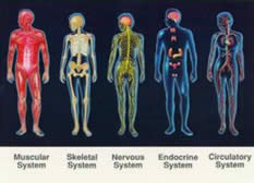 Bodily Systems