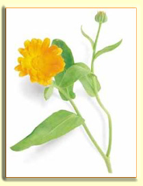 Calendula Ways To Get Rid Of Stretch Marks At Home Fast