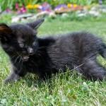 czarny kotek