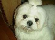 Malteses - Puppies - Pictures