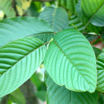 Malay Kratom Plant