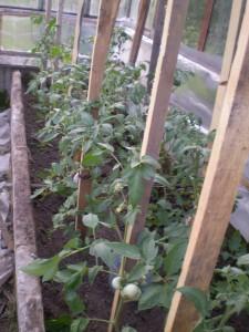 Кусты помидоров в теплице