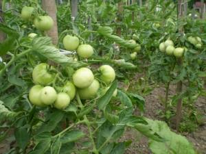 Урожайные кусты томатов