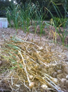 early garlic harvest 2012(2)