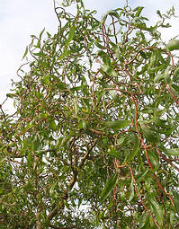 living willow, curly, corkscrew growth habit