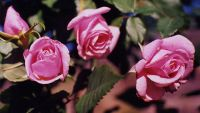 Beautiful roses require little care - Photo
