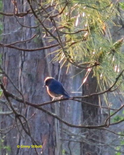 If you'd like bluebirds in your yard, stop poisoning the bugs.