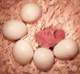 Budgie Parakeet Eggs and Newly Hatched Chick