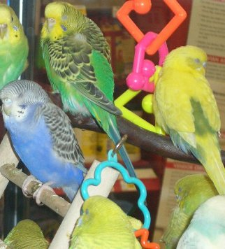 A Flock of Budgie Parakeets Napping