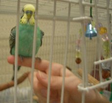 Budgie Parakeet Taming Phase 2, Step 1