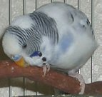 Muave Pied Budgie Parakeet Scratching His Face