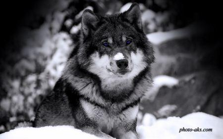 عکس گرگ وحشی wolf in winter